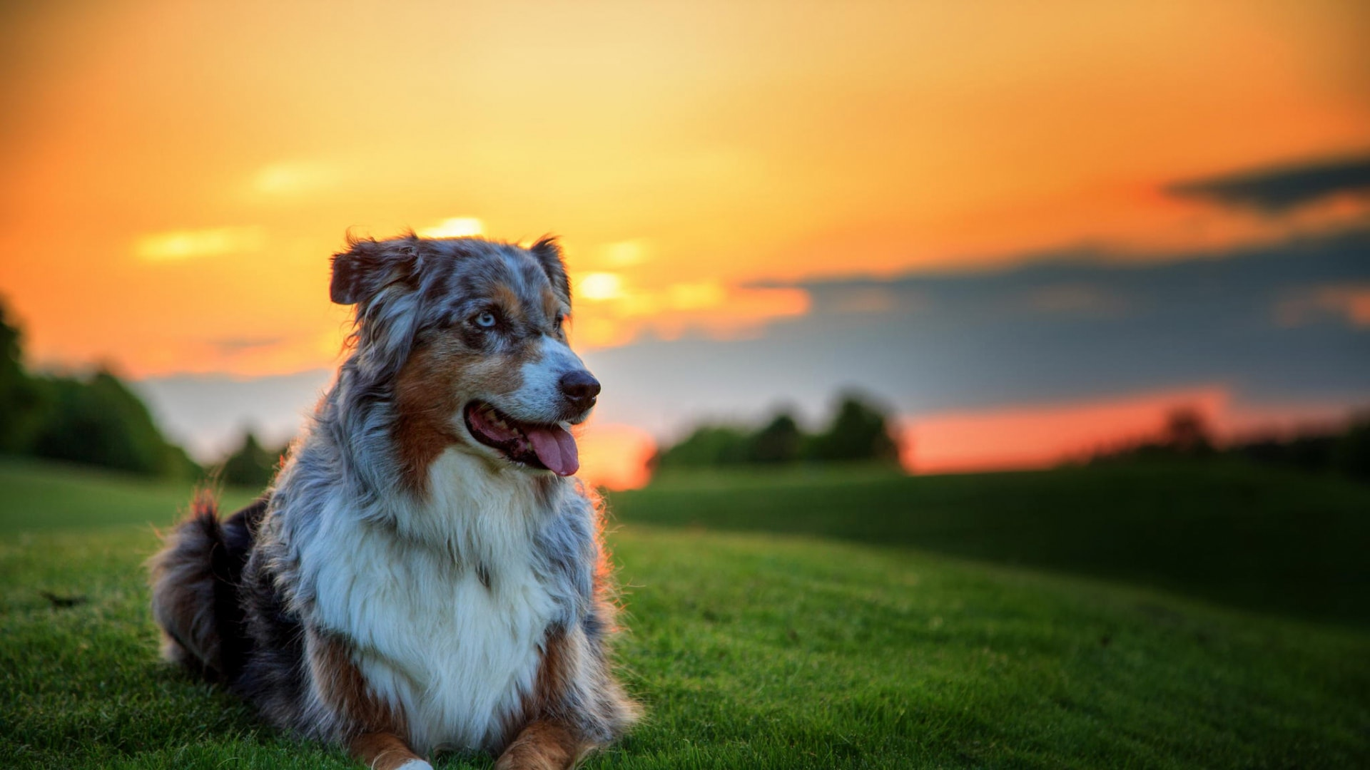 Australian Shepherd HQ wallpapers