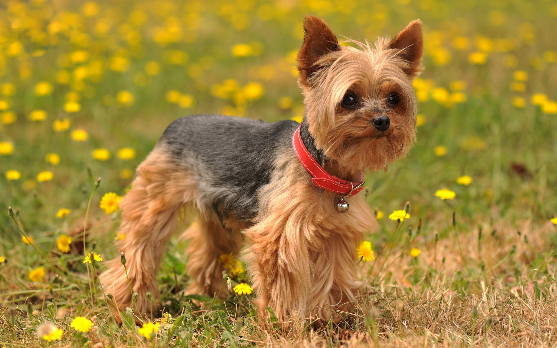 Australian Silky Terrier HQ wallpapers