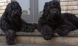Black Russian Terrier HQ wallpapers