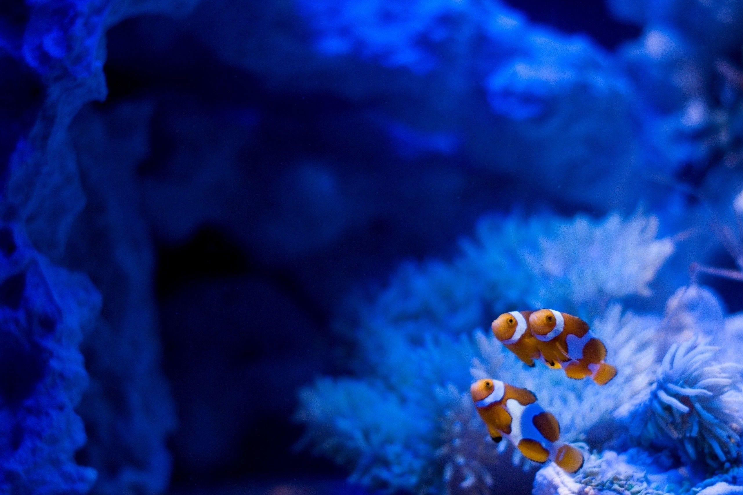 Clownfish HQ wallpapers