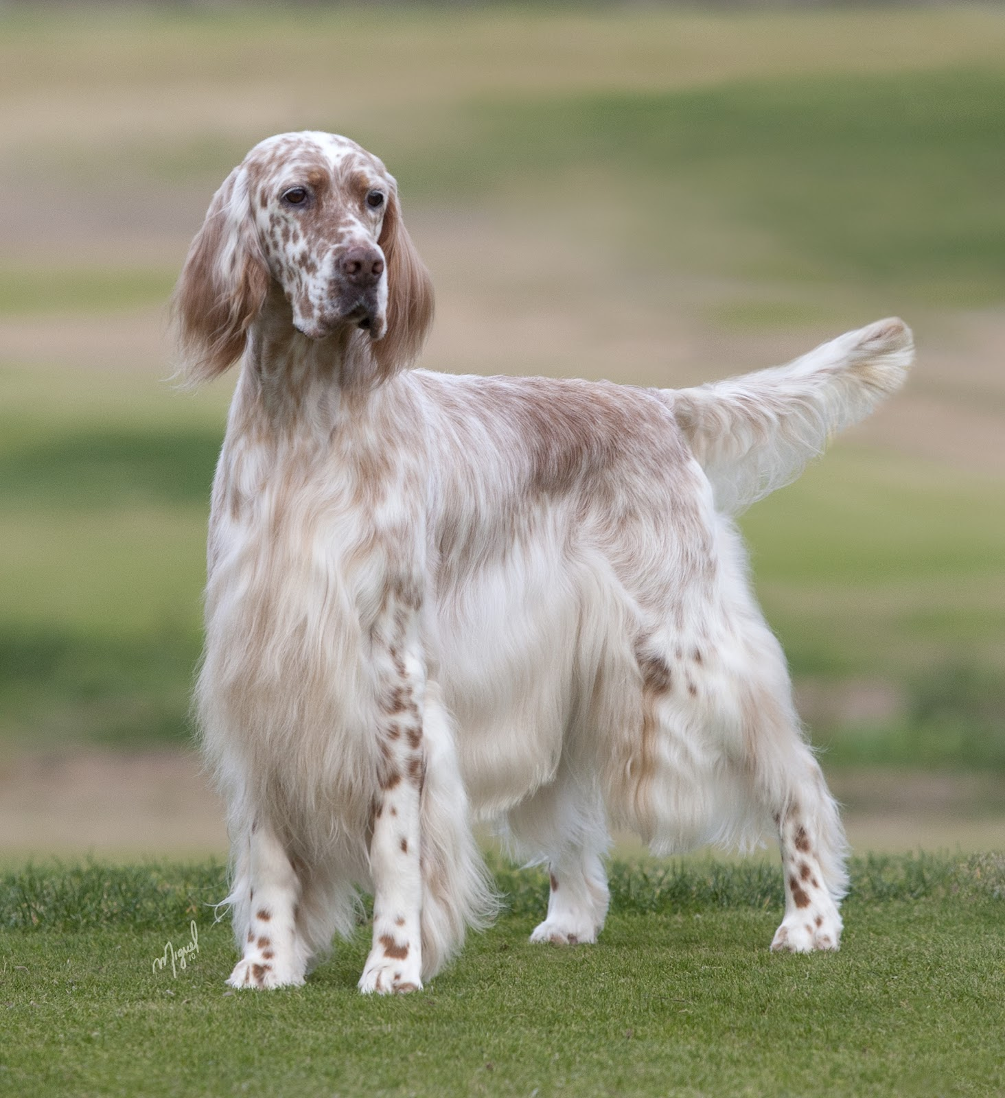 English setter For mobile