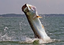 Fighting tarpon HD pics