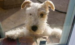 Fox Terrier HQ wallpapers