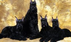 Giant Schnauzer Desktop wallpapers