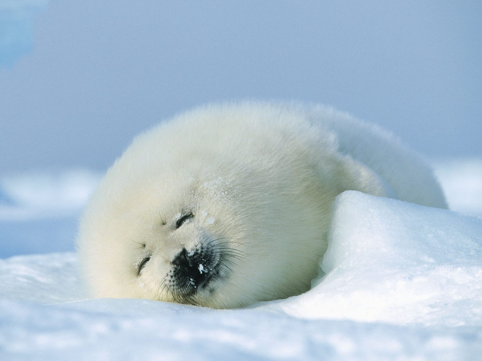 Harp seal HQ wallpapers