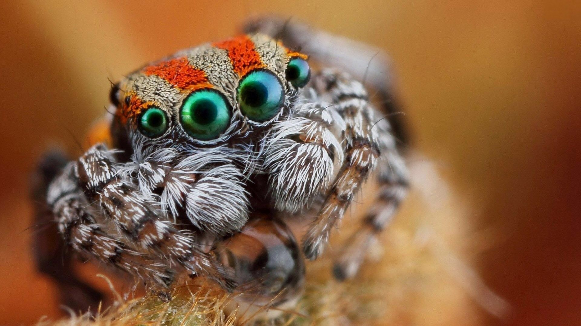 Jumping spider HQ wallpapers