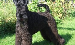 Kerry Blue Terrier HQ wallpapers