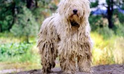 Komondor Desktop wallpapers