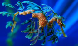 Leafy Seadragon HQ wallpapers