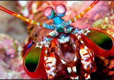 Mantis Shrimp HQ wallpapers