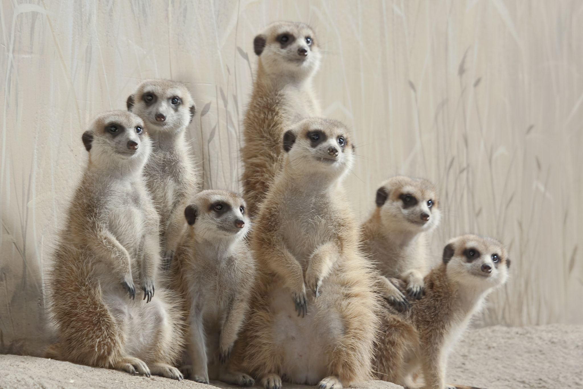 Meerkat HQ wallpapers