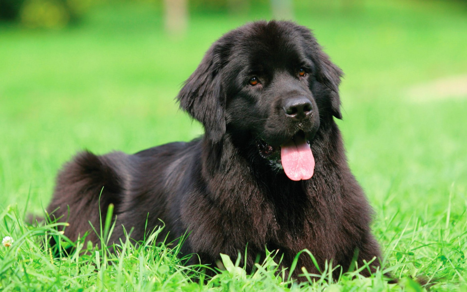 Newfoundland Dog HQ wallpapers