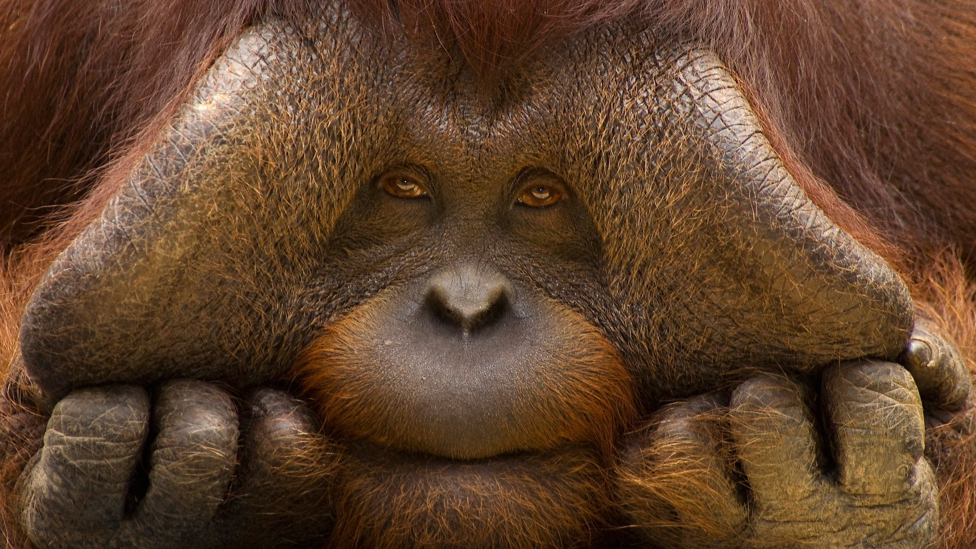 Orangutan Backgrounds