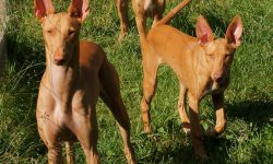 Pharaoh hound HQ wallpapers