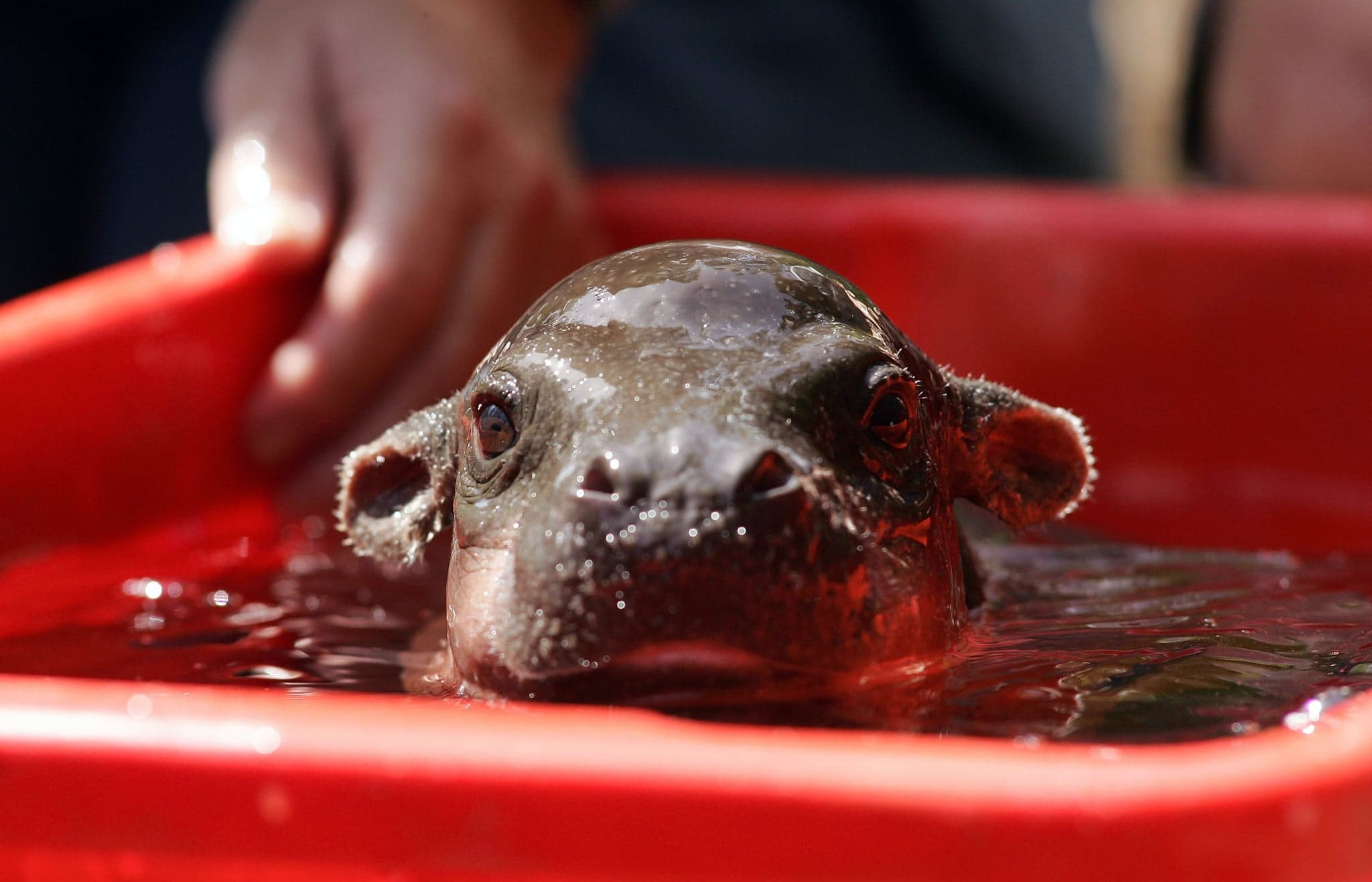 Pygmy hippopotamus HQ wallpapers
