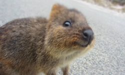 Quokka HQ wallpapers