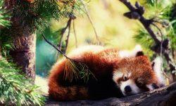 Red panda HQ wallpapers