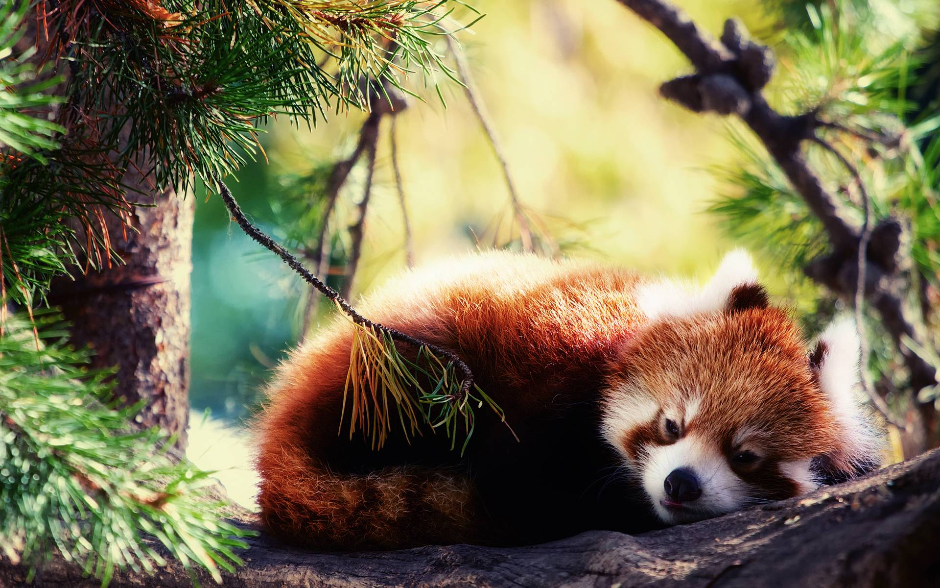 Red panda HQ wallpapers