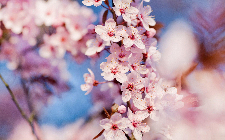 Sakura flower HQ wallpapers