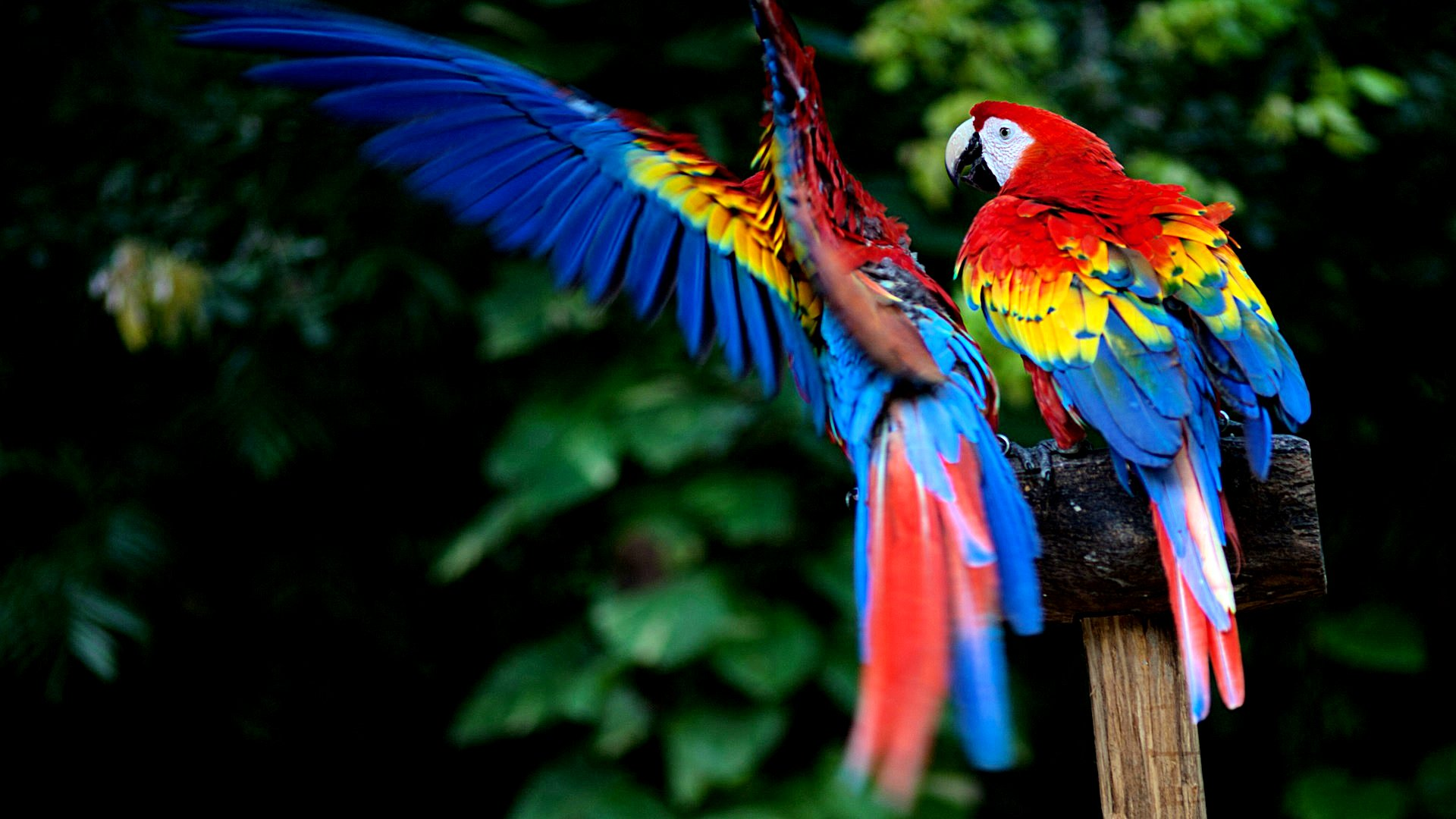 Scarlet macaw HQ wallpapers