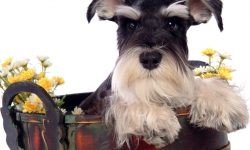 Schnauzer Desktop wallpapers