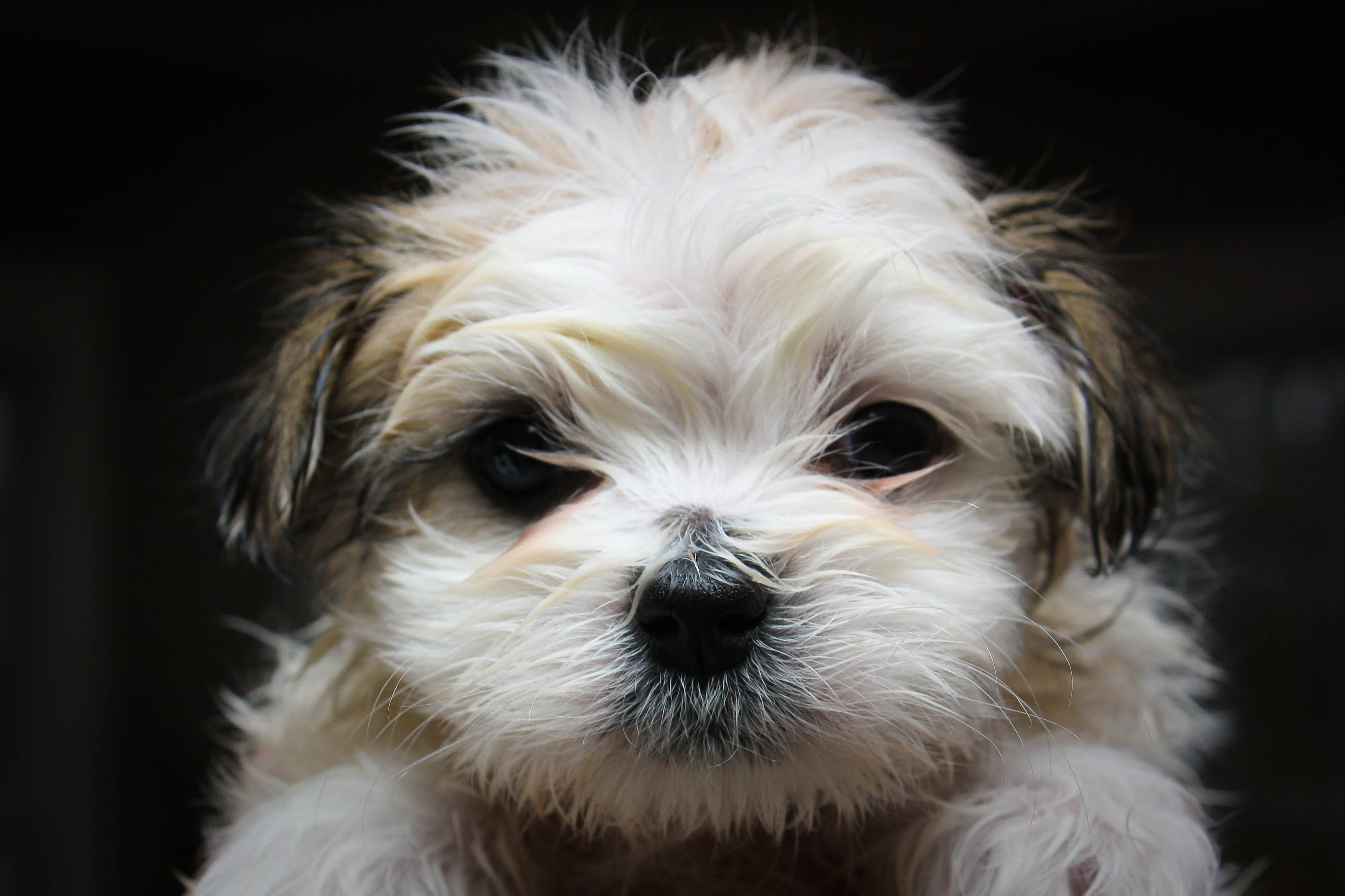Shih Tzu HQ wallpapers