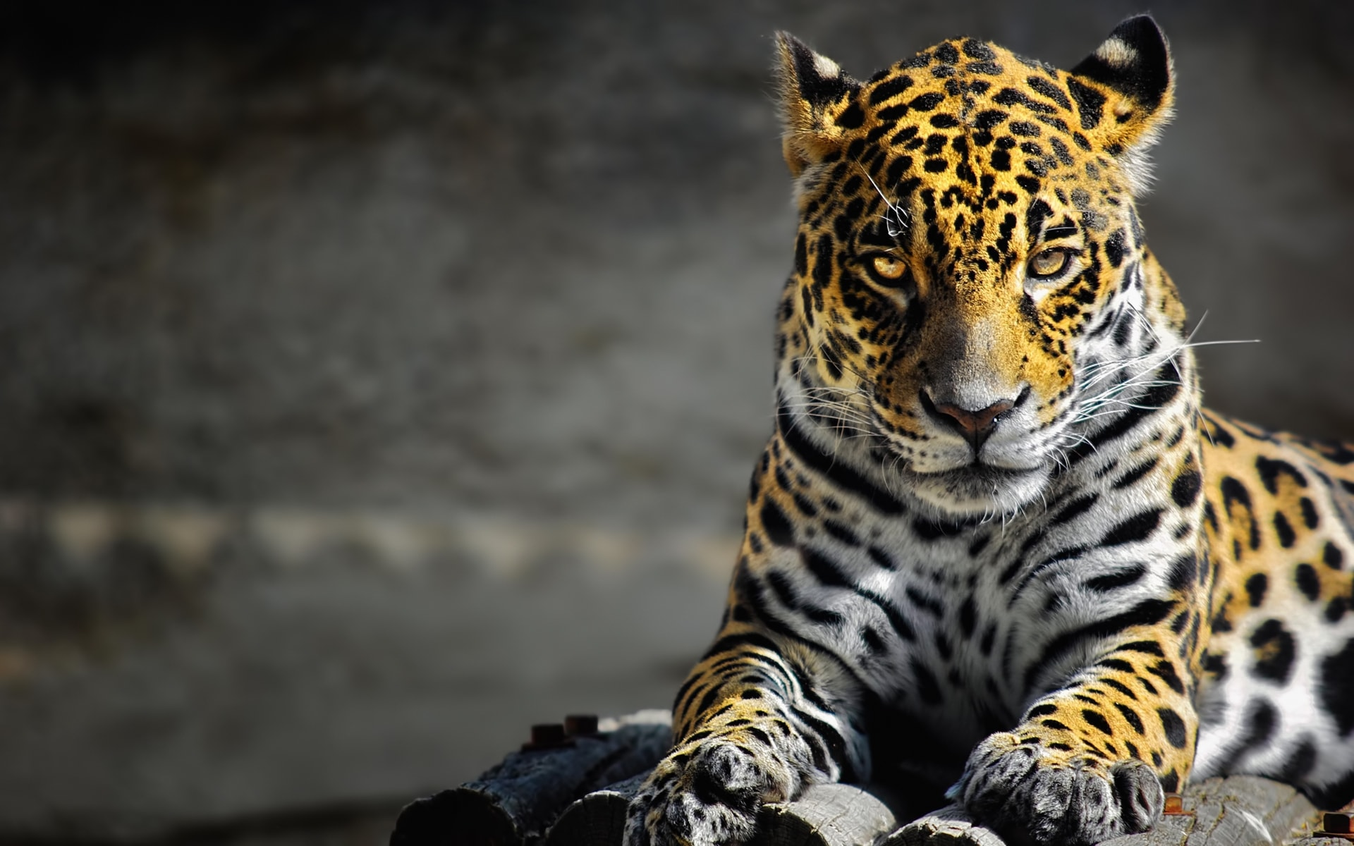 Jaguar widescreen wallpapers