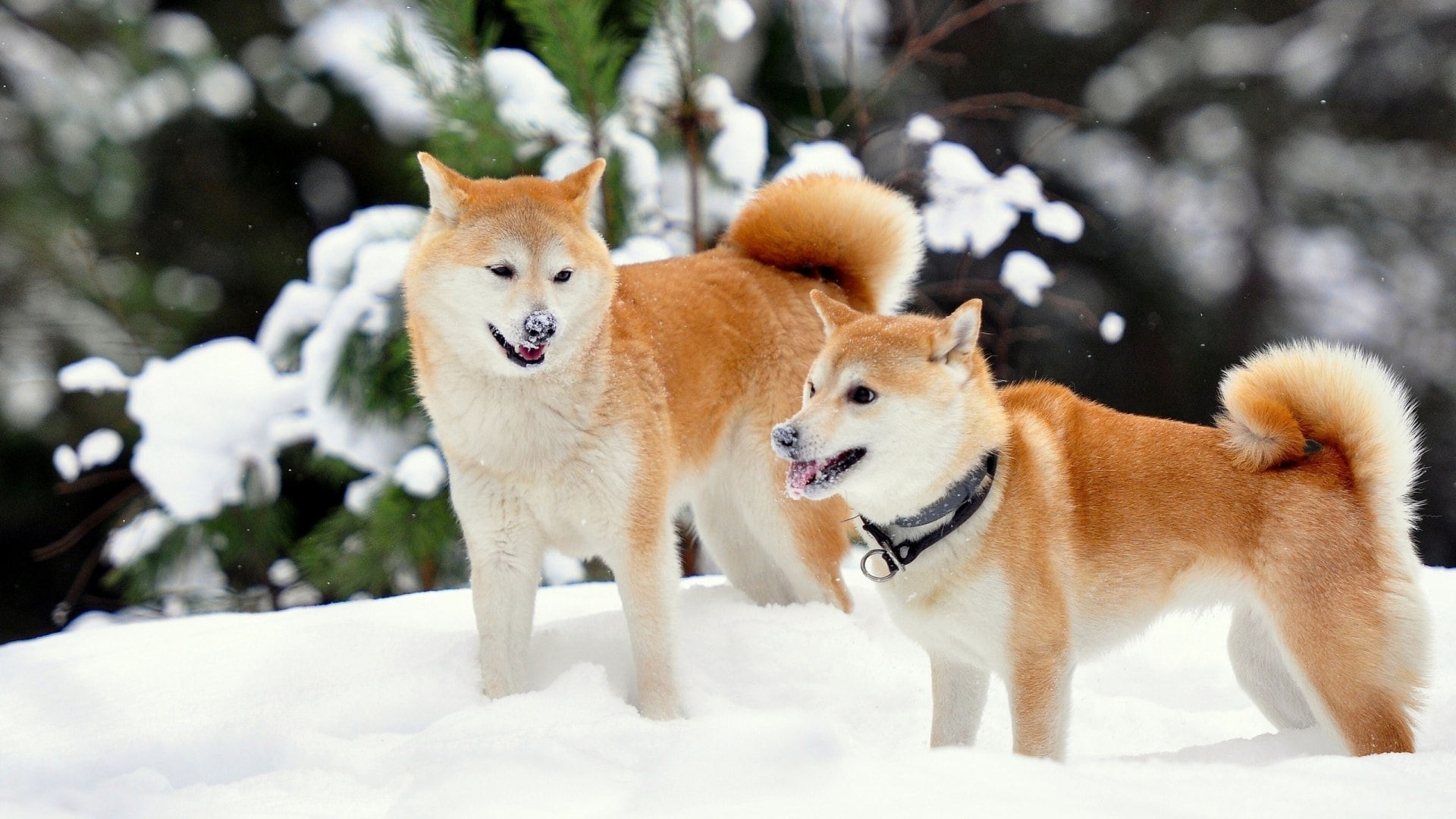 Akita Inu Desktop wallpapers