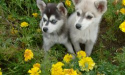 Alaskan Klee Kai Background