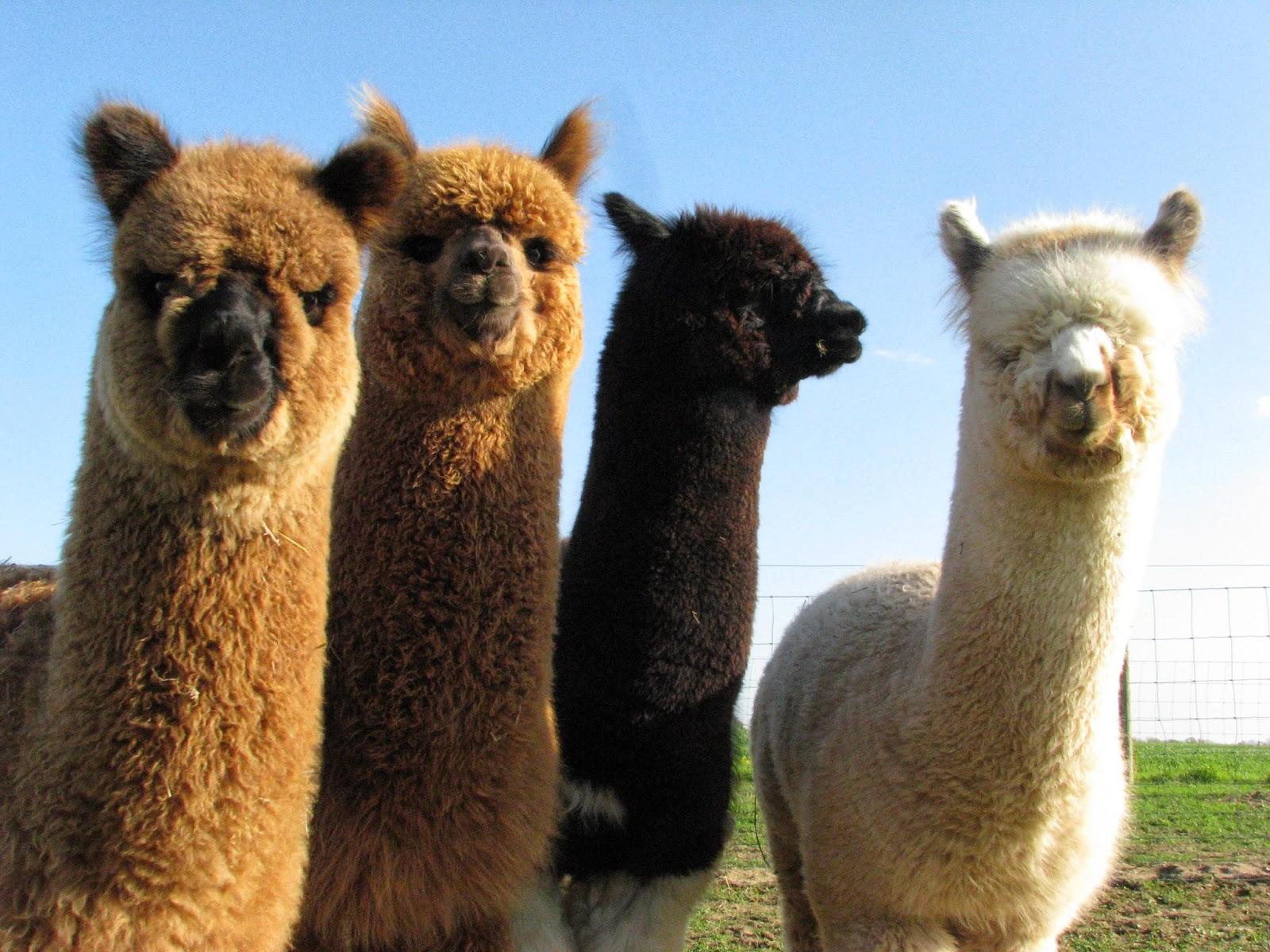 Alpaca Desktop wallpapers
