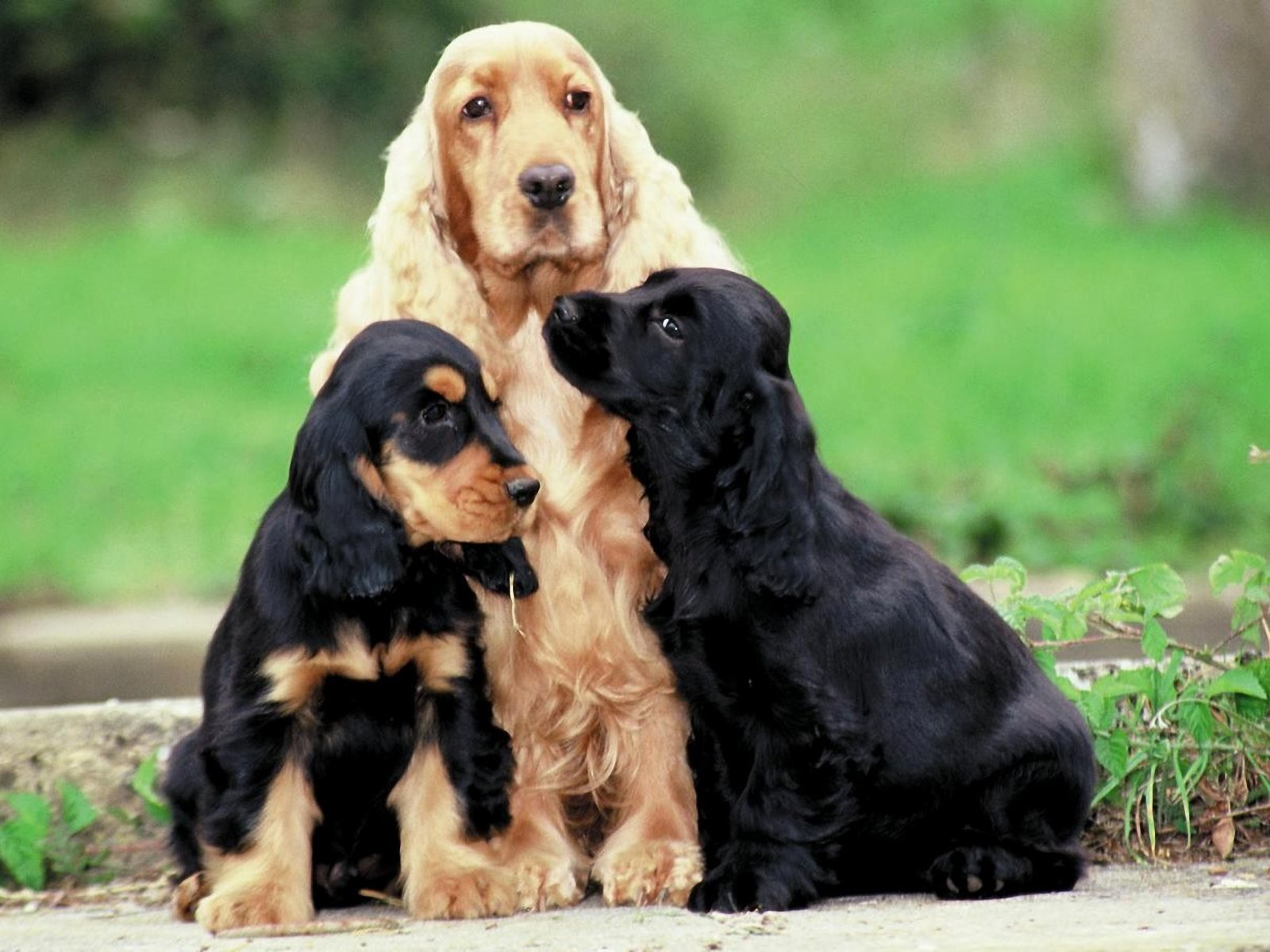 American Cocker Spaniel Desktop wallpapers