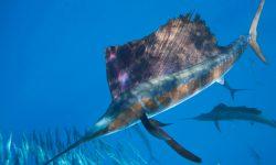Atlantic sailfish Desktop wallpapers