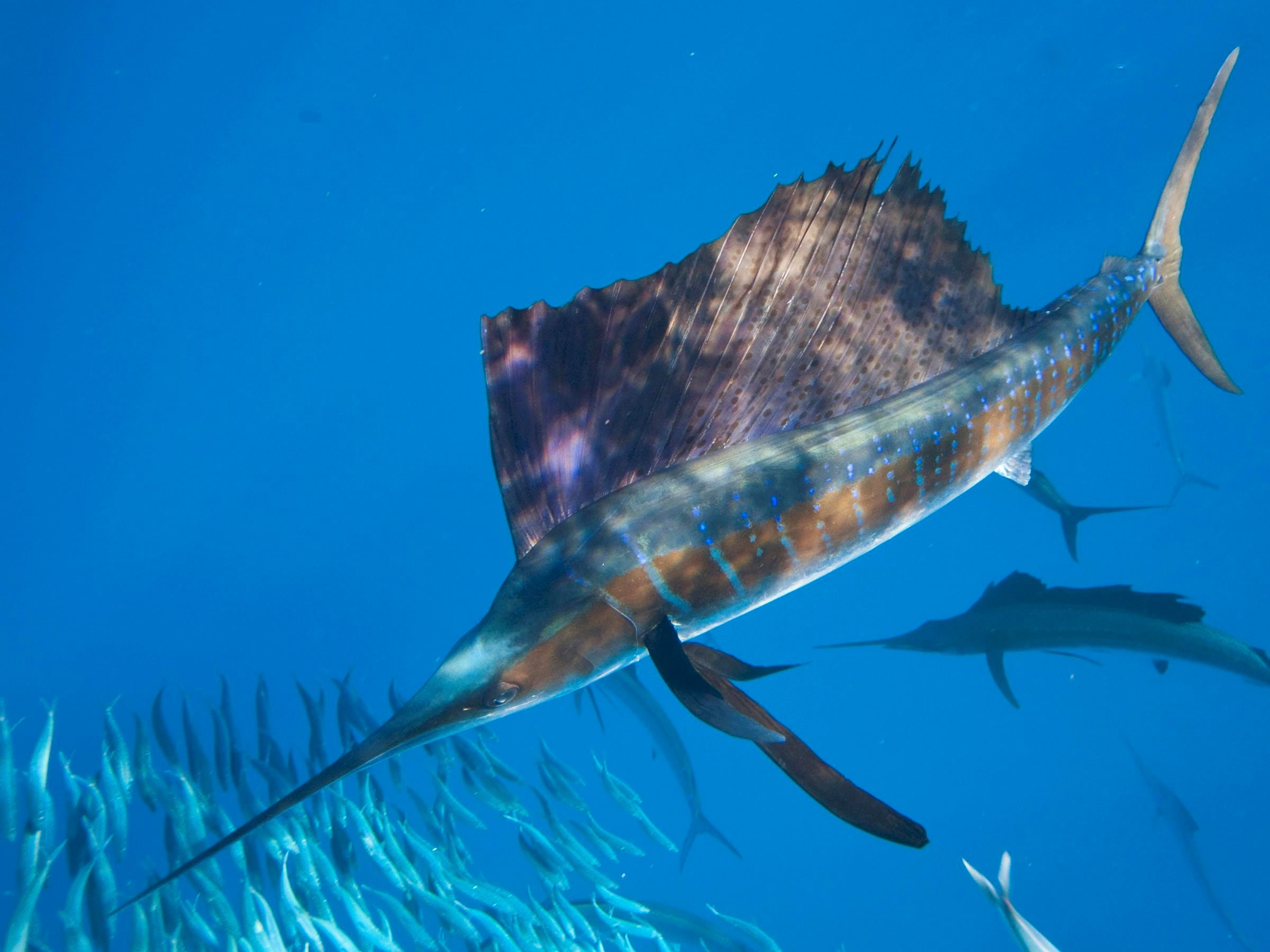 Atlantic sailfish Desktop wallpapers
