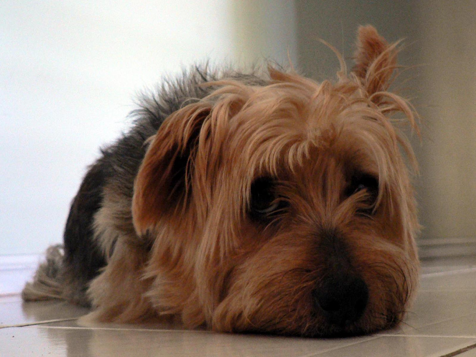 Australian Silky Terrier Desktop wallpapers