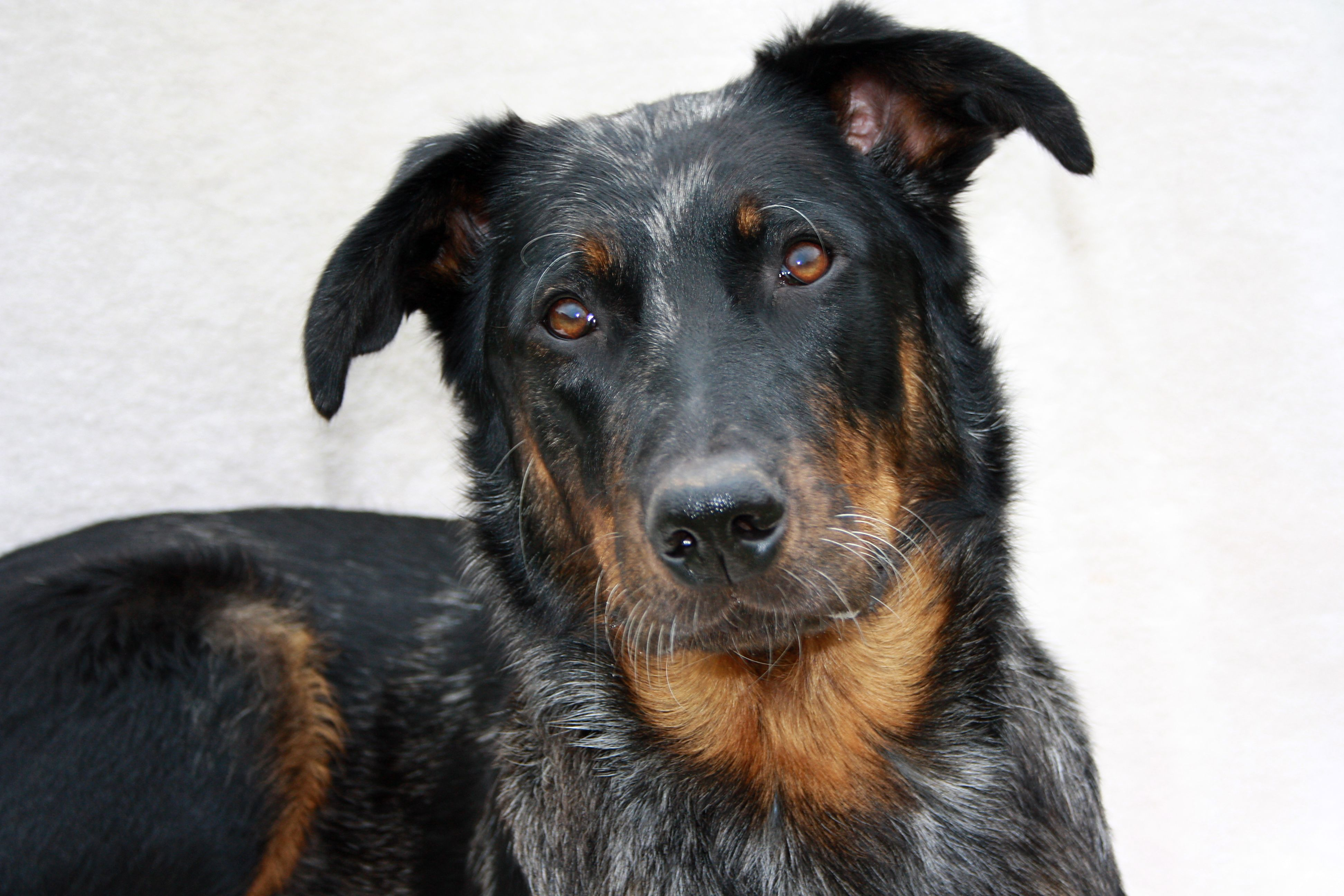 Beauceron Desktop wallpapers