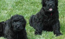 Black Russian Terrier Desktop wallpapers