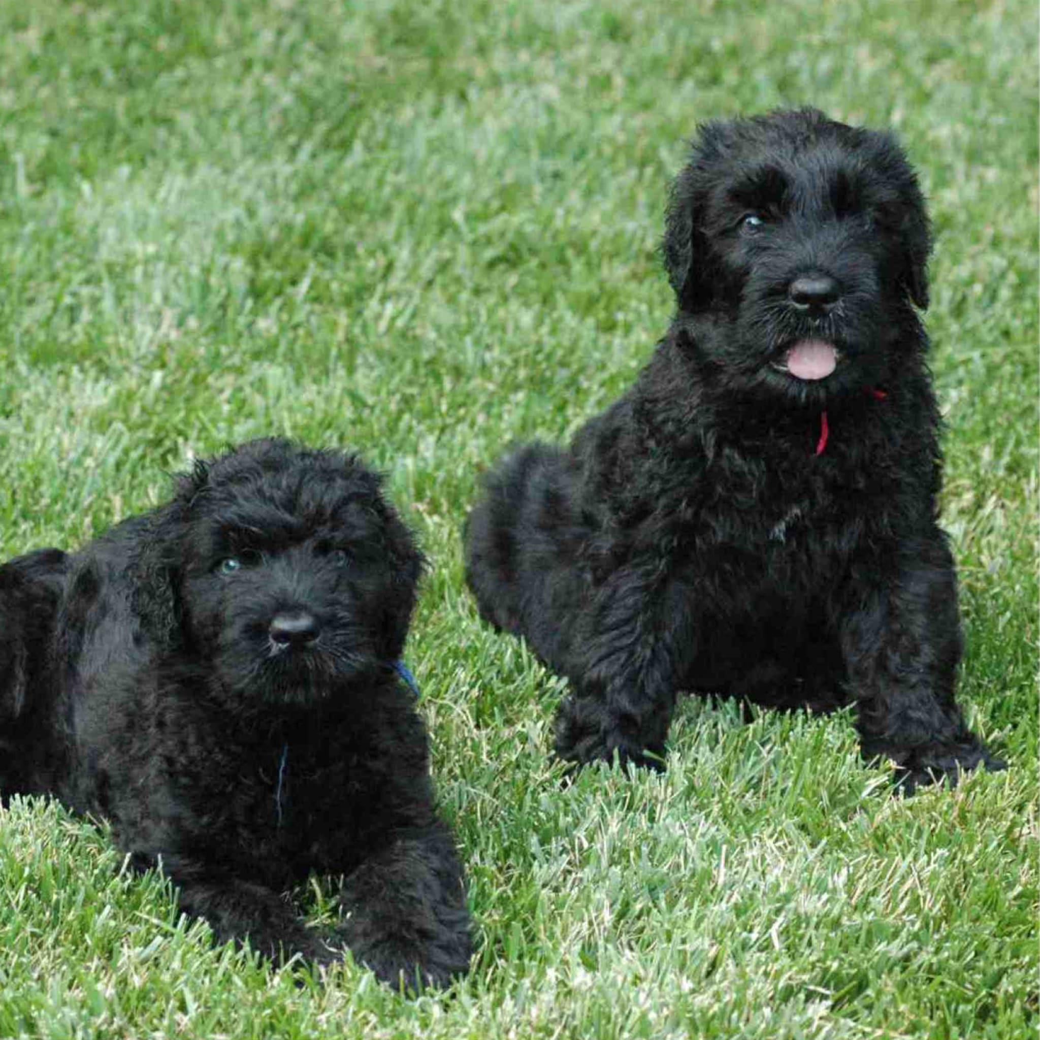 Black Russian Terrier Desktop wallpapers