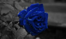 Blue Rose Screensavers