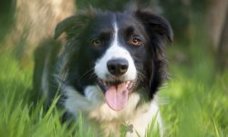 Border Collie Background