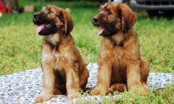 Briard Desktop wallpapers