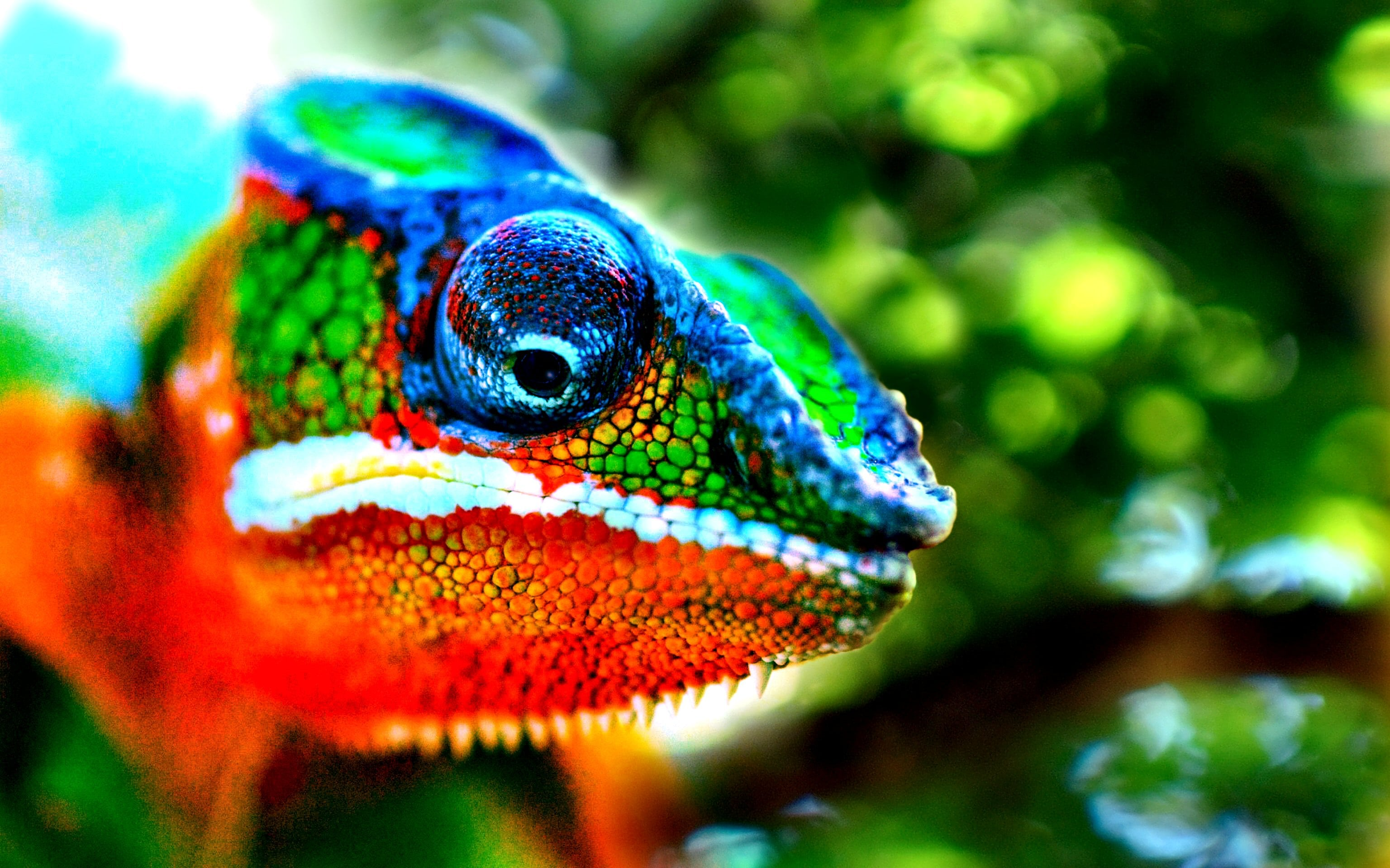 Chameleon Desktop wallpapers