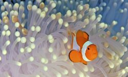 Clownfish Desktop wallpapers