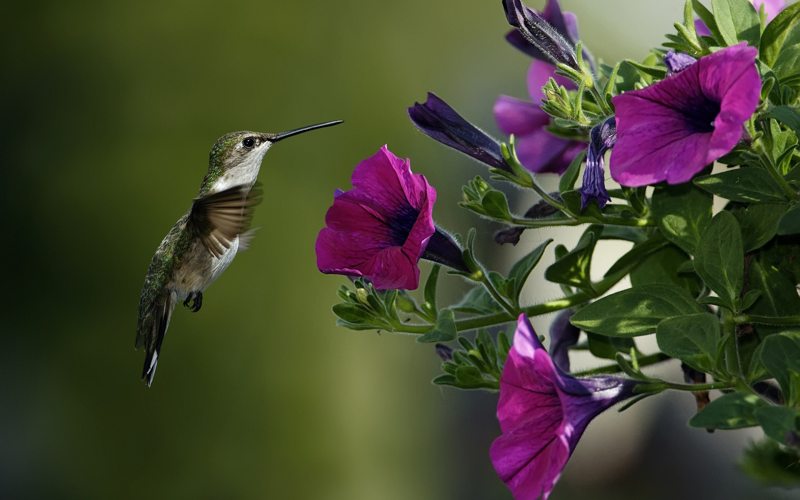 Colibri Desktop wallpapers