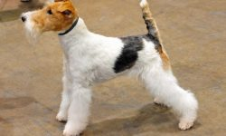 Fox Terrier Desktop wallpapers