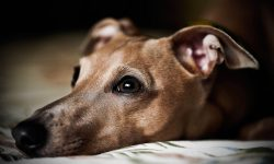 Greyhound Desktop wallpapers