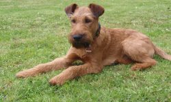 Irish Terrier Background