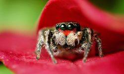 Jumping spider Desktop wallpapers