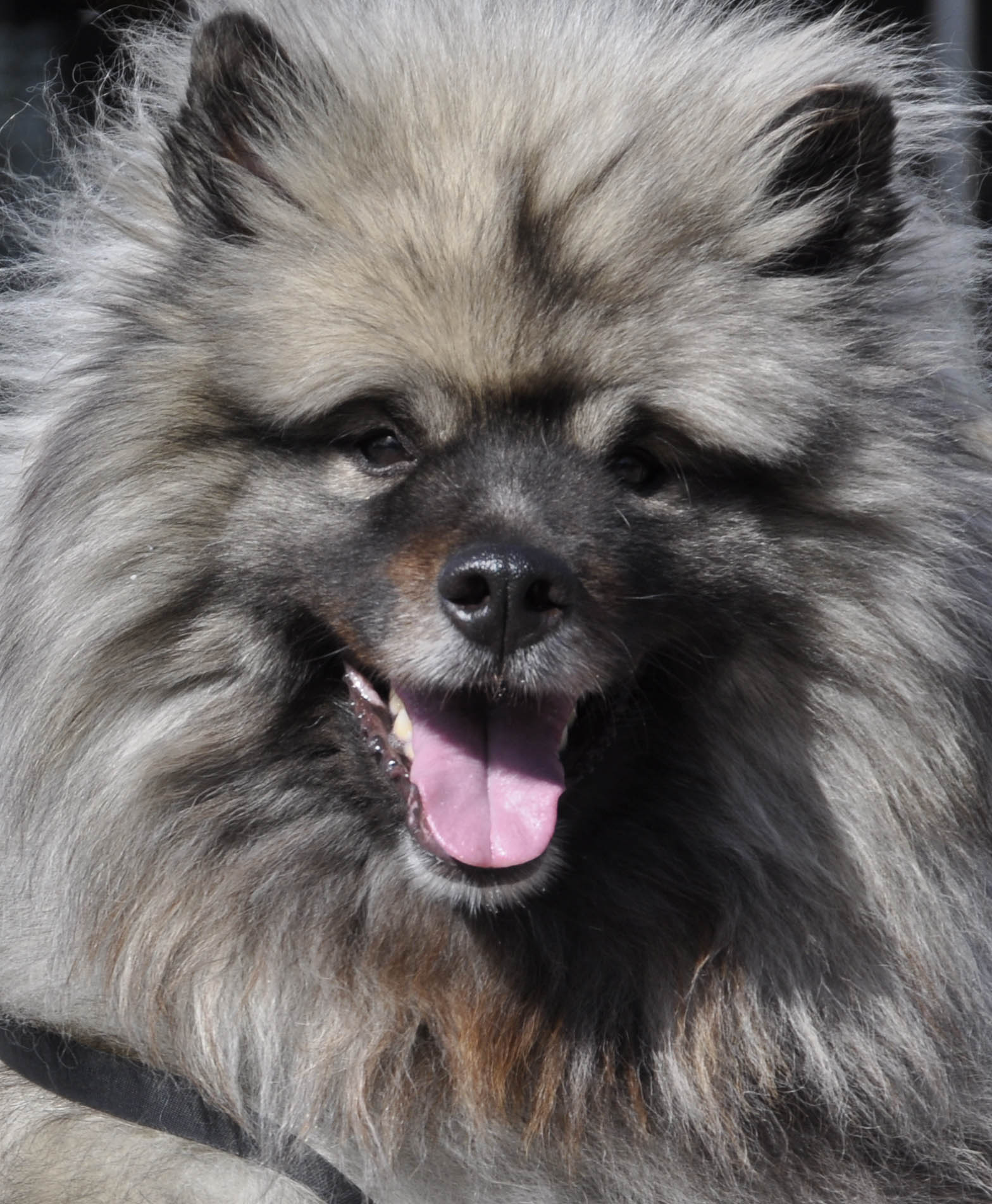 Keeshond Background