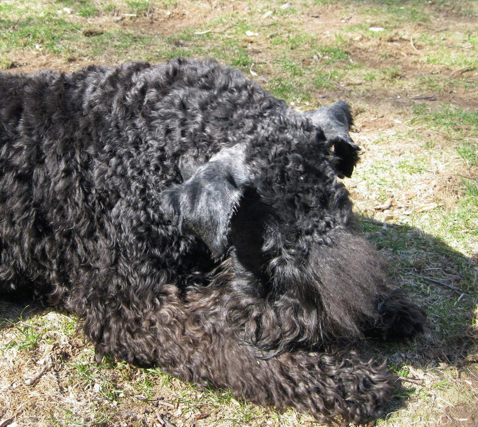 Kerry Blue Terrier Desktop wallpapers