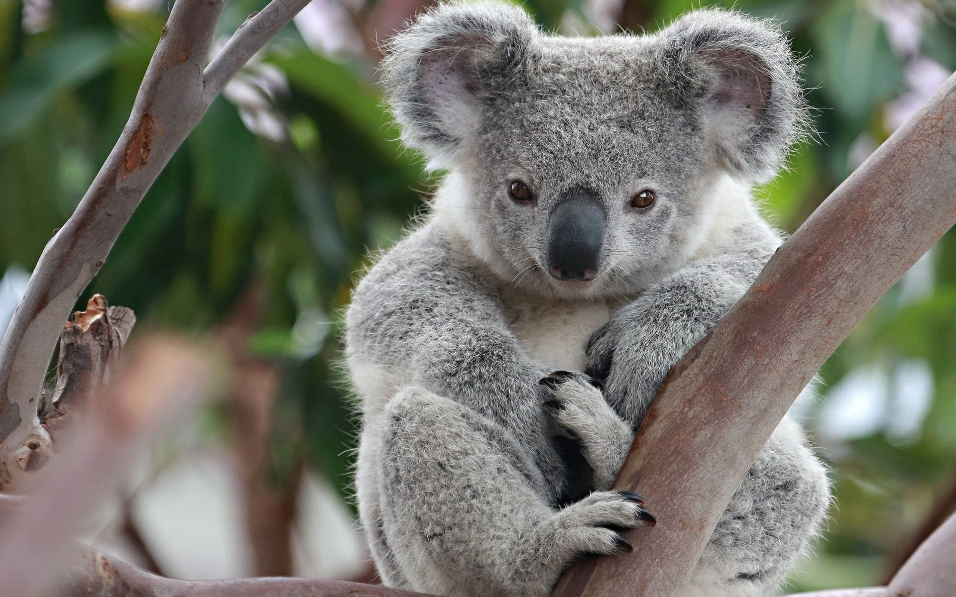 Koala Hd Wallpapers 7wallpapersnet